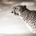 Фотография Cheetah78